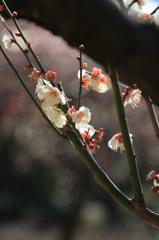 小石川後楽園の梅(11)