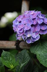 白山神社の紫陽花(6)
