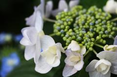 紫陽花(12)