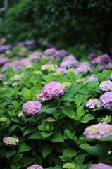 白山神社の紫陽花(8)