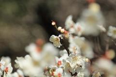 小石川後楽園の梅(5)