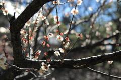 小石川後楽園の梅(10)