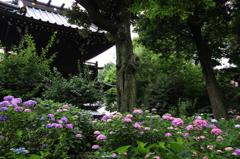 白山神社の紫陽花(13)