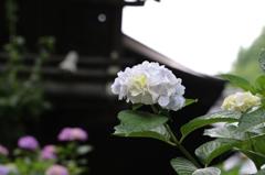 白山神社の紫陽花(12)