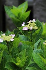 白山神社の紫陽花(7)