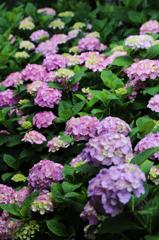 白山神社の紫陽花(3)