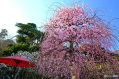 長谷寺の枝垂れ梅