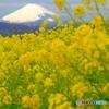 咲き誇る吾妻山