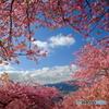 よく晴れた日の河津桜