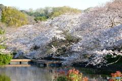源平池の桜