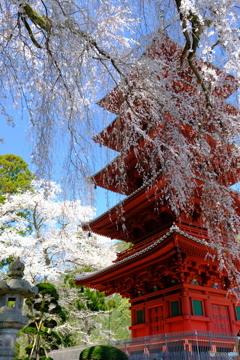 枝垂れ桜と五重塔