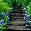 紫陽花階段