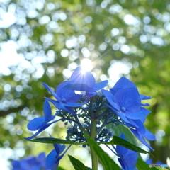 煌めく紫陽花