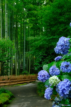 竹林と紫陽花