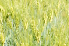 大麦パワー