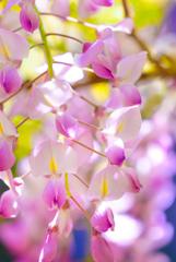 ~春日大社 萬葉植物園~藤っ子