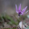 春の花 カタクリ