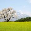 小岩井一本桜①