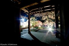 慈雲禅寺 桜ライトアップ④