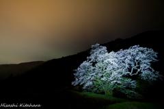 駒つなぎの桜①