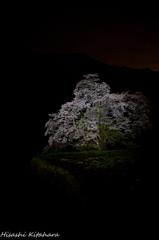 駒つなぎの桜③