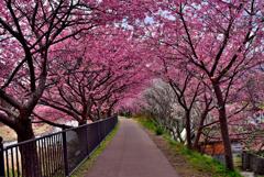 梅混じりの桜トンネル