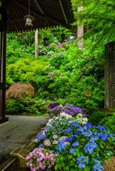 新緑と紫陽花