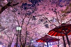 祇園白川桜天井