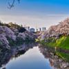 千鳥ヶ淵の桜4