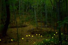 竹林のヒメボタル2