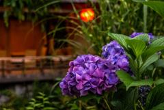 祇園の紫陽花