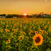 夕日と向日葵