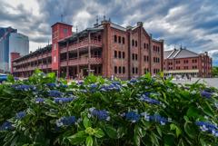 紫陽花と赤レンガ倉庫