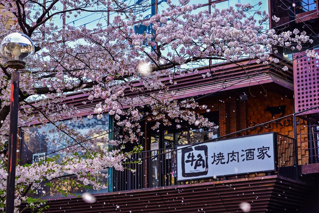 牛角と桜吹雪
