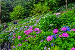 長谷寺の紫陽花2