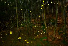 竹林のヒメボタル3
