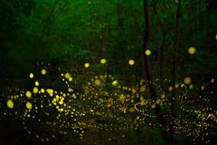 茂みの中のヒメボタル