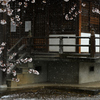 粉雪舞う 桜の季節
