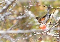 雪と柿とアカハラ