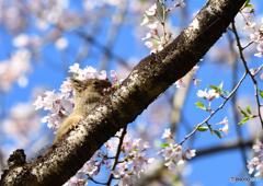 桜 (青空)