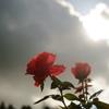 残暑の薔薇