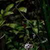 日陰の小菊