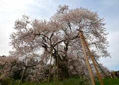 戸津辺の桜 〜2021〜