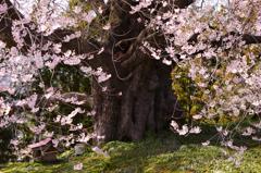 貫禄巨木桜 2