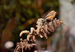 野鳥の食卓 ~冬のセイタカアワダチソウ~ 3
