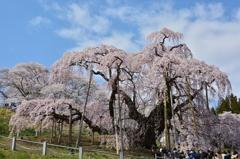 美春桜 4