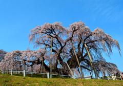 故郷春景色 ~三春滝桜~