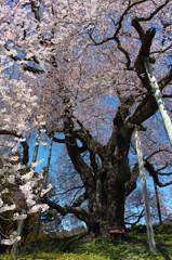 満開巨桜咲乱 2
