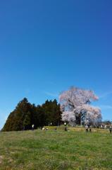 巨桜咲く 7