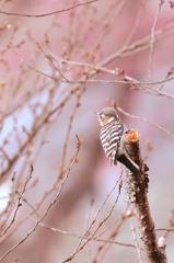 優彩小啄木鳥